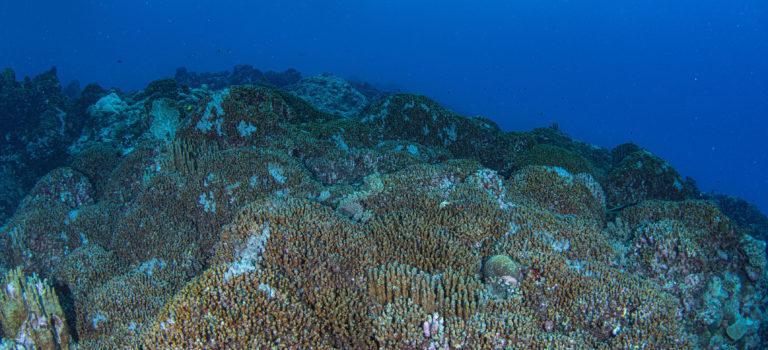 琉球列島「最北端」のアオサンゴの群生を確認